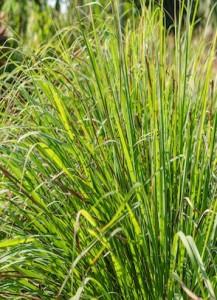 lemongrass_base